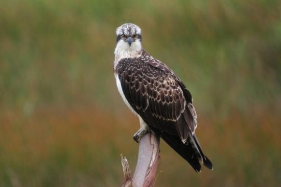 ¡Estamos de enhorabuena! el águila pescadora Livingstone (N4) cría en Las Landas