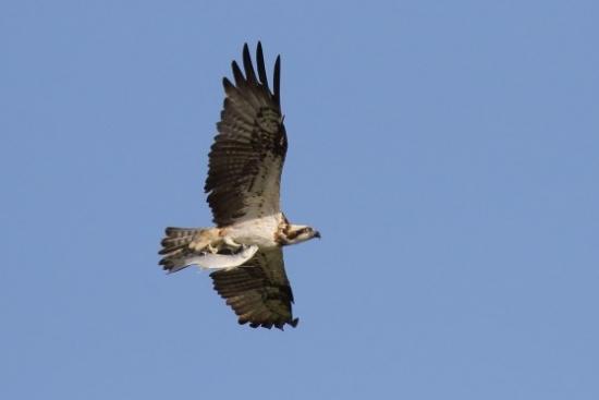 ¡Primicia!  ¿Llegarás a tiempo para ver la primera águila pescadora que inverne en Urdaibai?
