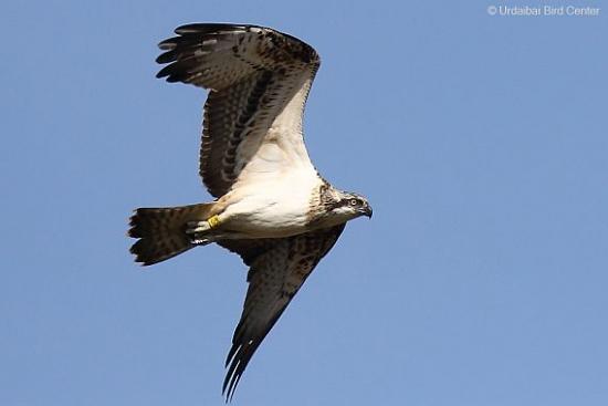 Las águilas pescadoras están preparando su partida hacia África.